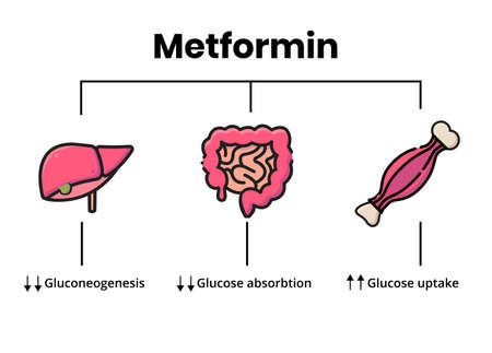 Metformin mechanism of action. Vector illustration of the metformin target organs.  Diabetes treatment explained