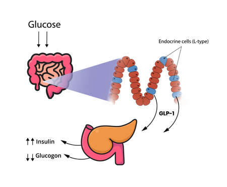 GLP-1 release by the cells of the small intestine and colon. L-cells produce glucagon-like peptide in response to glucose, fructose, galactose vector illustration Ilustracja