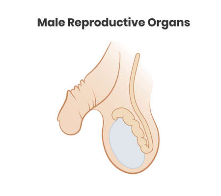 Vector illustration of the male reproductive system. Testicles and penis vector icon Ilustracja