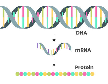 Protein synthesis schematic illustration. Vector illustration of the DNA, mRNA and polypeptide chain