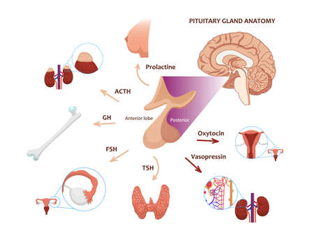 The diagram of the pituitary function. vector illustration of the pituitary hormones and target endocrine glands Zdjęcie Seryjne - 164614915