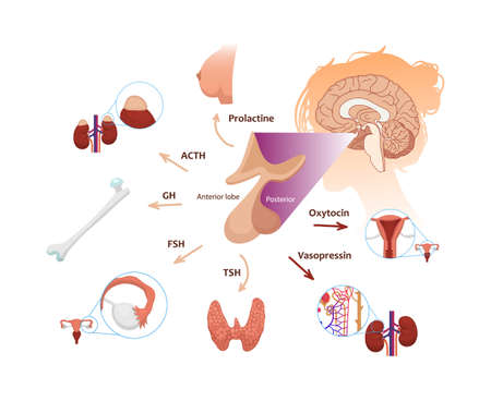 Pituitary gland function in female body. Illustration of the pituitary anatomy with respective hormones and target organs: ovary, uterus, thyroid, bones, breast