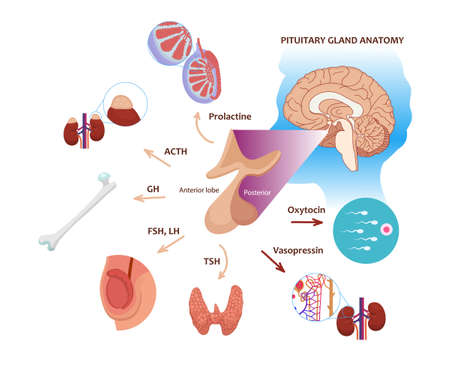 Pituitary gland function in male body. Illustration of the pituitary anatomy with respective hormones and target organs: thyroid, testicles, and sperm