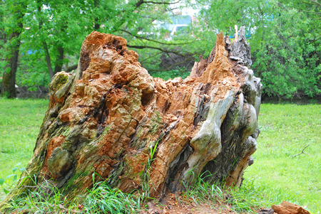 Old rotten stump in the city park Stock Photo