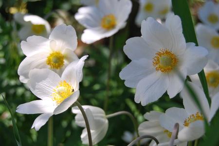 Anemone garden white flower with yellow center stock photo anemone garden white flower with yellow center stock photo 81781805 mightylinksfo