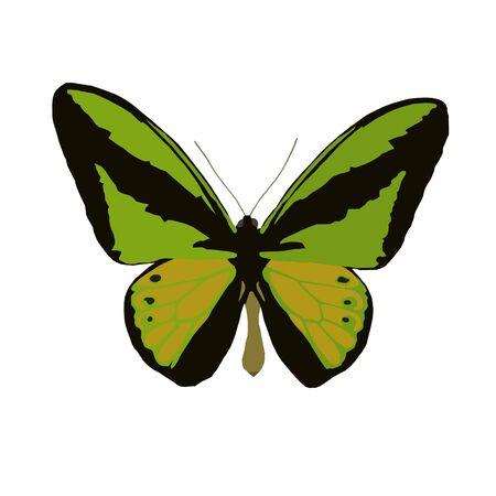 Large day butterfly (Ornithoptera goliath), vector on white background