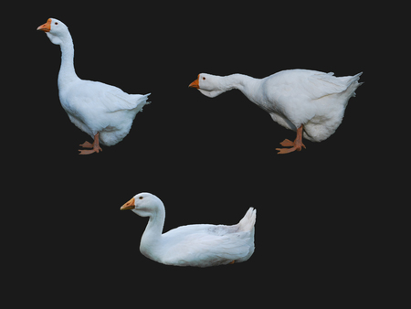 Set of isolated white geese on a dark background.