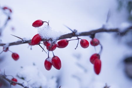 Red ripe berries of barberry, covered with snow. Stock Photo