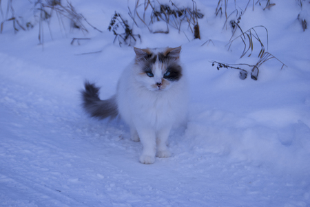 An unusual three-colored cat with blue eyes is sitting on the snow. Strabismus in an animal