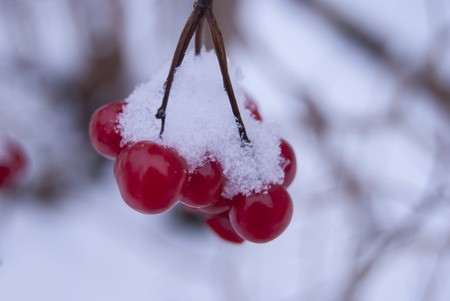 A branch of ripe berries of the Kalina, covered with snow.