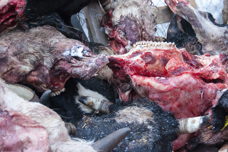 The heads of the dead cows in the slaughterhouse. Remains of animals Фото со стока