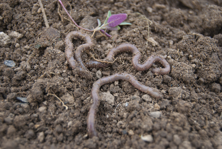 Several earthworms crawl on the surface of the earth.