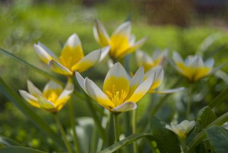 Spring varietal flowers tulips Kaufman (Tulipa kaufmanniana) are white and yellow in the garden.
