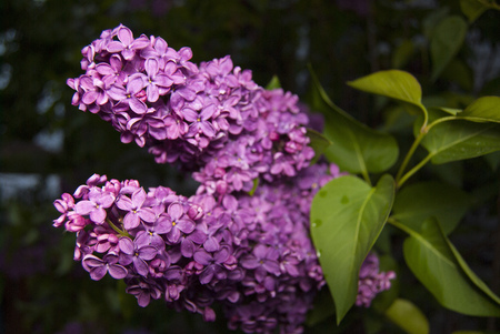 A branch of a large flowering garden lilac (syringa). Close-up 版權商用圖片