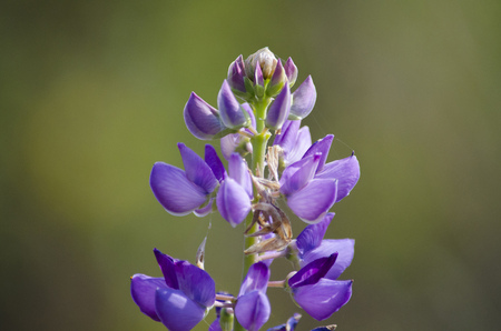 A lupine flower of purple color close-up.