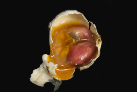 The dead embryo of a pigeon's bird. In the egg