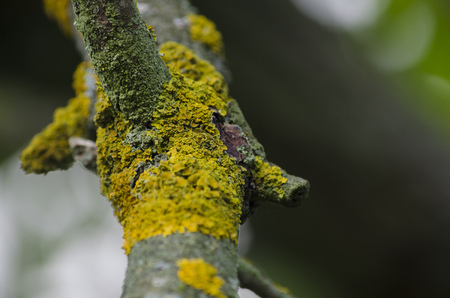Yellow lichen on the old branch. Close-up.