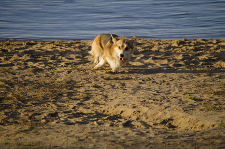 Pembroke Welsh Corgi breed dog runs along the shore of the reservoir. 免版税图像