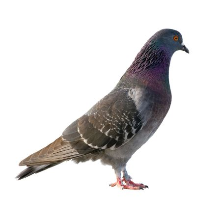 Pigeon. Isolated on white background. photo