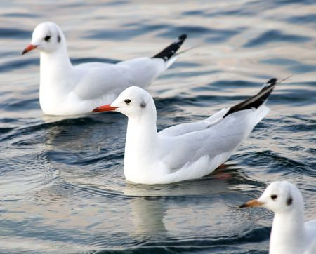 Seagull floating in sea. photo