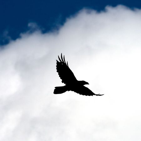 Fly raven. Stock Photo