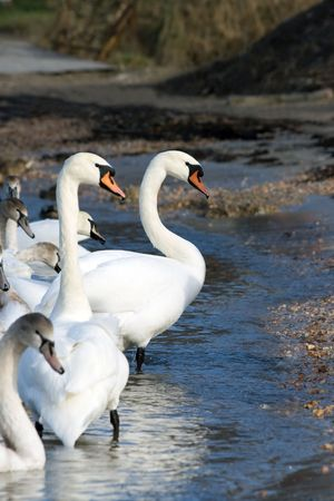 Swans on the beach Stock Photo - 6445919
