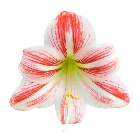 Red amaryllis flower. Isolated on white background. photo