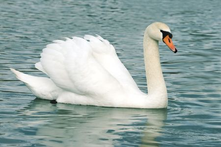 Floating in the water a beautiful swan photo