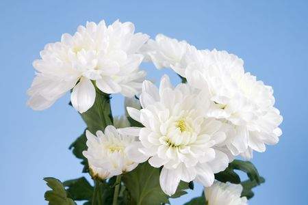 White chrysanthemums on a blue background photo