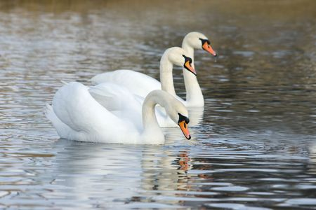 White swans floating on the water surface photo