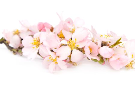 A branch of flowering almonds. Isolated on white background.