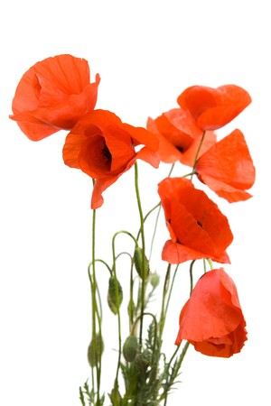 Red poppies isolated on white background photo