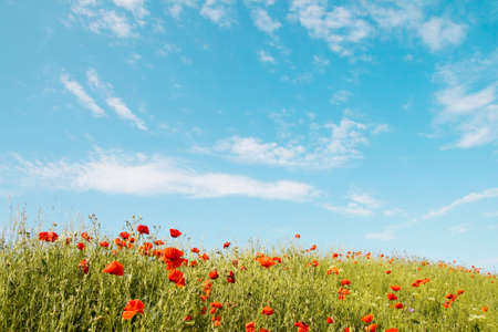 Red poppies on a background of blue sky with clouds photo
