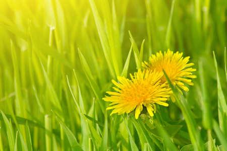 Dandelion flowers in green grass Stock Photo - 7014990