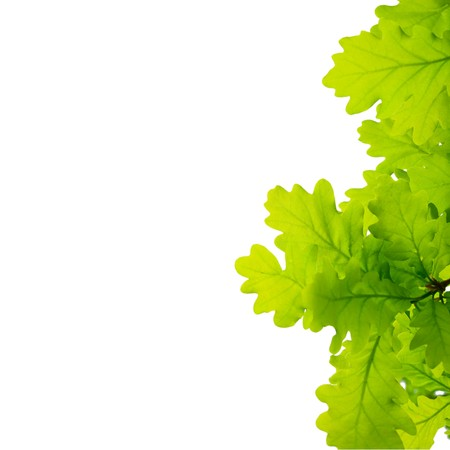 Young oak leaves Isolated on white background photo