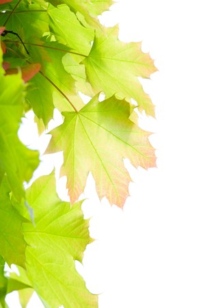 Young leaves of maple translucent in the sun photo