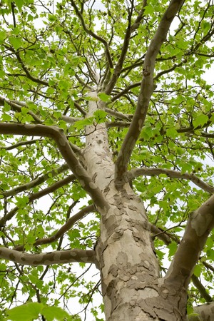 The trunk of a tree with large branches and green leaves Stock Photo