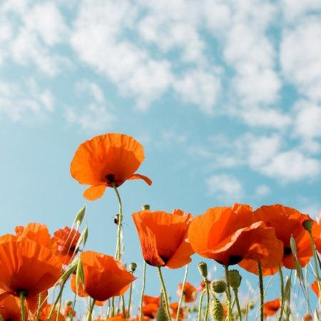 natural vegetation: Red poppies on a background of blue sky with clouds