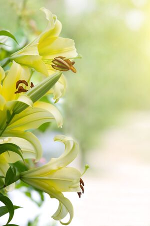 lily flowers: Yellow lilies in the blurry background.