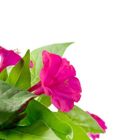 mirabilis: Tre belle fiore Mirabilis nel fogliame verde.