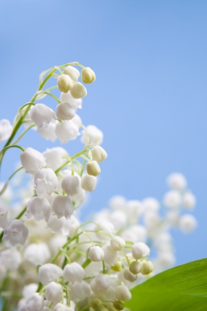 Flower of lily of the valley on a blue background  photo