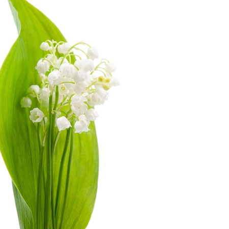 Flower of lily of the valley on a background of green leaves. Isolated on white background