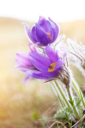 balmy: Beautiful purple flowers, dream herb (Pulsatilla patens) Stock Photo