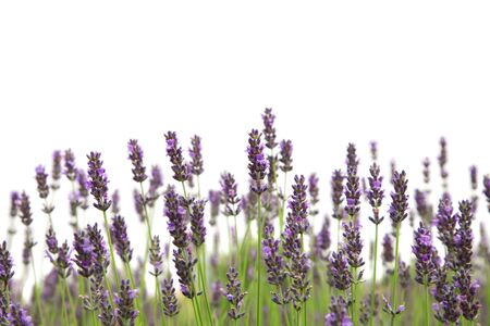 Purple lavender flowers, isolated on a white background Stock Photo
