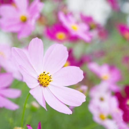 cosmos flower: Beautiful flowers cosmos. Can be used as a background.