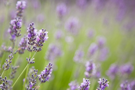 Purple lavender flowers on a green background Stock Photo