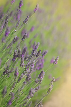 Branches of flowering lavender. Can be used as background  Stock Photo - 10201198