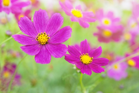 Beautiful flowers cosmos. Can be used as a background. photo