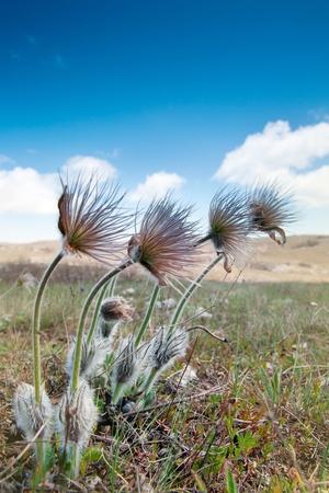 pulsatilla: Pulsatilla patens after flowering.  Stock Photo