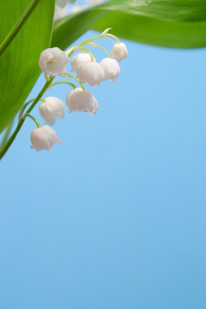 Beautiful flowers lily of the valley under the green leaves on a blue background Фото со стока